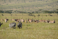 Common Zebras and Beisa Oryx.