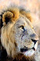 Male Lion - red in tooth and claw.