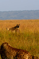 Spotted Hyena trying to scavenge from Cheetahs