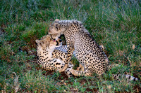 Cheetah and Cub cleaning up